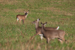Whitetail deer buck watching doe during rut Stock Photo