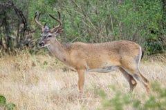Whitetail deer buck Royalty Free Stock Image