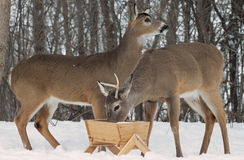 Whitetail Deer Bucks at feeder Stock Photos