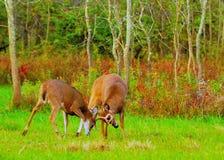 Whitetail Deer Bucks Rut Royalty Free Stock Photo