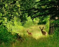 Whitetail Deer Bucks. In summer velvet standing in an opening in the woods Royalty Free Stock Photos