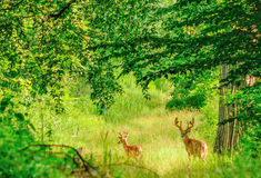 Whitetail Deer Bucks. In summer velvet standing in an opening in the woods Royalty Free Stock Photography