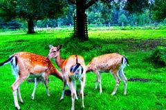 Whitetail Deer Bucks in summer velvet standing stock images
