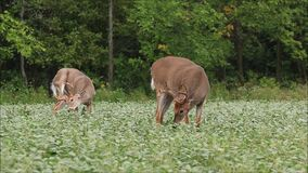 Whitetail Deer Bucks With Velvet Antlers Feeding in Bean Field. A pair of whitetail deer buck sporting velvet antlers feed in a bean field during the late summer stock video footage