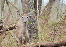 Whitetail Deer  Button Buck Royalty Free Stock Photography