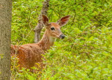 Whitetail Deer Button Buck Royalty Free Stock Images