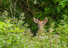 Whitetail Deer Button Buck Royalty Free Stock Photos