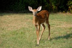 Whitetail deer dawn with spots Stock Photos