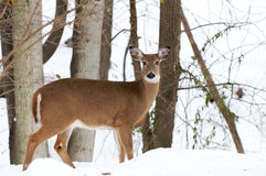 Whitetail deer (doe) Royalty Free Stock Image
