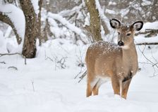 Whitetail Deer Doe Stock Photo