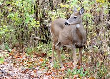 Whitetail Deer Doe Stock Photo