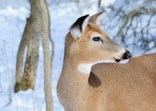 Whitetail Deer Doe. Closeup head shot of a whitetail deer doe stock images