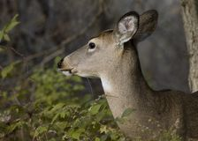 Whitetail Deer Doe. Head-shot of a whitetail deer doe stock images