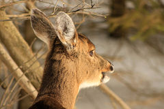 Whitetail Deer Doe Chewing Twig During Winter Stock Image