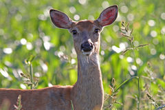 Whitetail Deer Doe in Corn Field Royalty Free Stock Photo