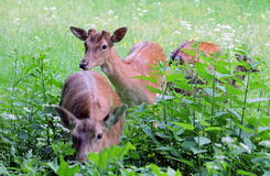 Whitetail deer doe and fawn in a beanfield in late evening Royalty Free Stock Images