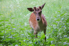 Whitetail deer doe and fawn in a beanfield in late evening Stock Image