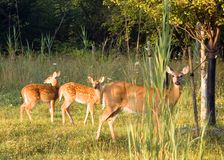 Whitetail Deer Doe With Fawns Royalty Free Stock Images
