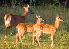 Whitetail Deer Doe With Fawns royalty free stock photos