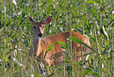 Whitetail Deer Doe Feeding in Corn Field Royalty Free Stock Image