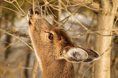 Whitetail Deer Doe Feeding in Winter. A wild whitetail deer doe feeds on twigs during a cold winter day in Ontario Royalty Free Stock Photography