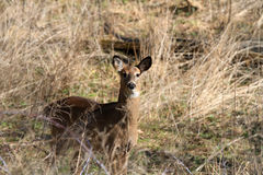 Whitetail Deer doe Royalty Free Stock Photography