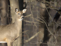 Whitetail deer doe. Head and shoulders image of a white-tailed deer doe in evening light against a backdrop of forest royalty free stock photos