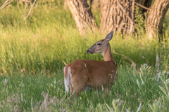 Whitetail Deer Doe. A whitetail deer doe in lush grass in summer stock images