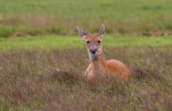 Whitetail Deer Doe Stock Images