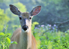 Whitetail Deer Doe With Mosquitoes Stock Photo