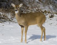 Whitetail Deer  Doe(Odocoileus virginianus) Stock Photography
