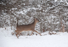 Whitetail deer doe running in the snow Stock Images