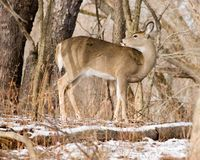 Whitetail deer Doe Side View Royalty Free Stock Photography