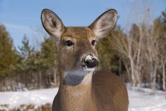 Whitetail Deer Doe in Snow. Whitetail doe up close with selective focus; background of snow, trees and blue sky Royalty Free Stock Image