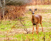 Whitetail Deer Doe Stock Image
