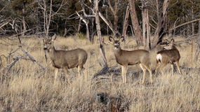 Whitetail deer doe standing in the woods. Stock Photo