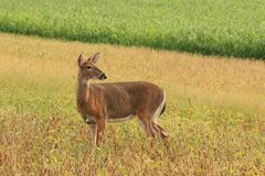 Whitetail Deer Doe Stands in a Bean Field. A whitetail deer doe stands in a bean field during late summer Royalty Free Stock Image