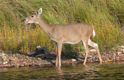 Whitetail Deer Doe Wading in Water Royalty Free Stock Image