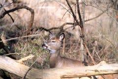 Whitetail Deer doe Royalty Free Stock Images