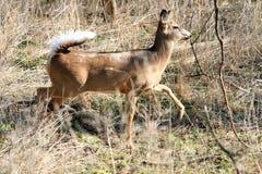 Whitetail Deer doe Stock Image