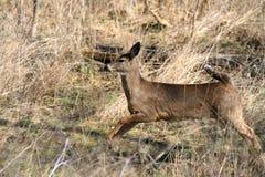 Whitetail Deer doe Royalty Free Stock Photos
