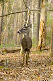 Whitetail deer doe in the woods Stock Images