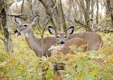 Whitetail Deer Doe With Yearling Stock Photos