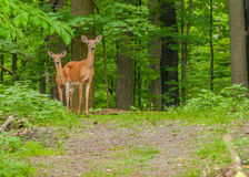 Whitetail Deer Doe Stock Photography
