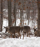 Whitetail deer. Does in late autumn, with snow on the ground royalty free stock photo