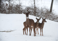 Whitetail deer does in snow Stock Images