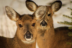 Whitetail Deer Does in Snow Stock Photography