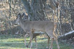 Whitetail Deer Does In Unison. Partially shaded capture of two whitetail deer does, standing close together in an upland forest opening Royalty Free Stock Images