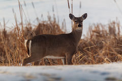 Whitetail Deer on the edge of a swamp Royalty Free Stock Photo