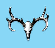 Whitetail Deer European Mount Skull and Antlers Illustration Royalty Free Stock Image
